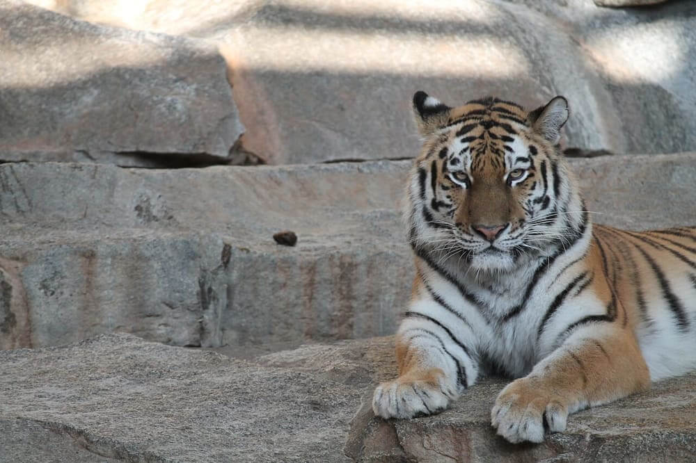 Tiger at the Sacramento Zoo